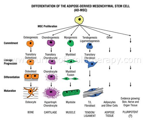 Understanding Adipose Derived Stromal Vascular Fraction Ad Svf